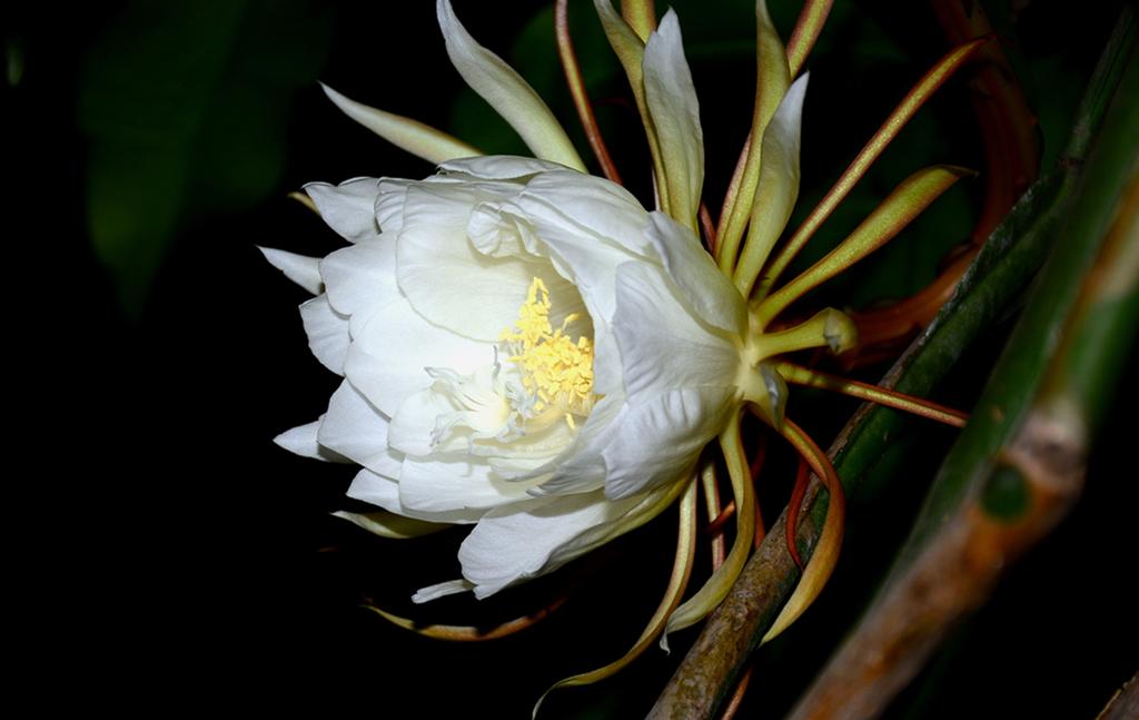 昙花开花的图片欣赏