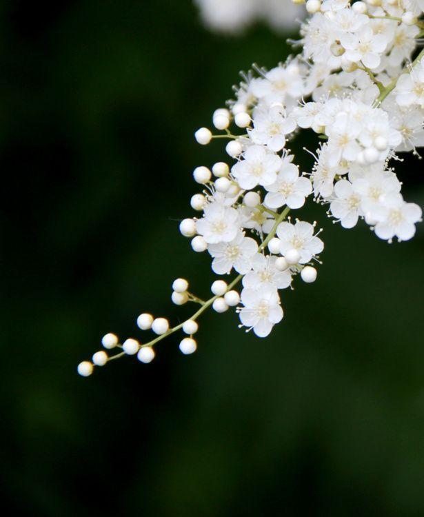 珍珠梅——夏日里的傲骨