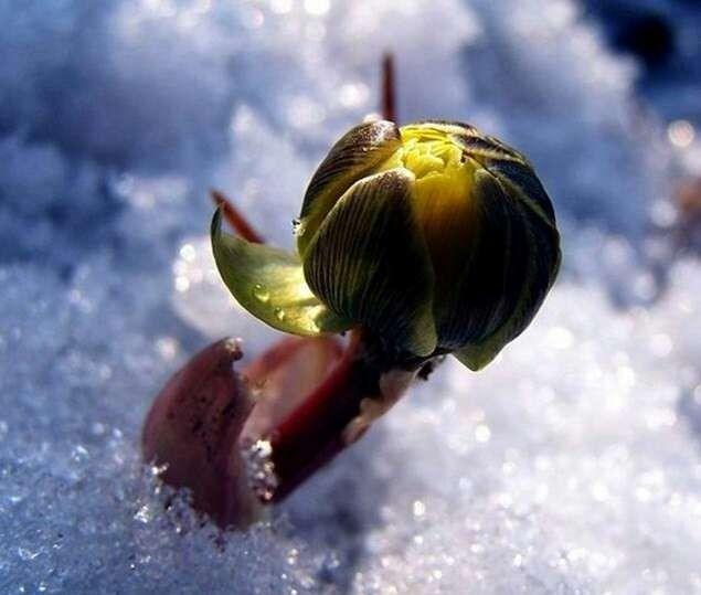 冰凌花——冰雪中的精灵