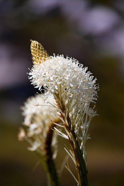 熊草——山火后的守护吉祥草