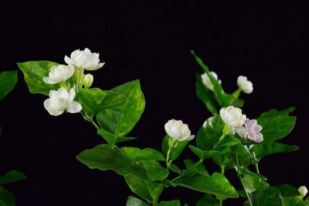 盆栽茉莉花怎么养开花多?