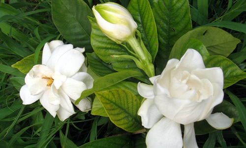 栀子花叶片出现白斑怎么回事?是病还是虫?