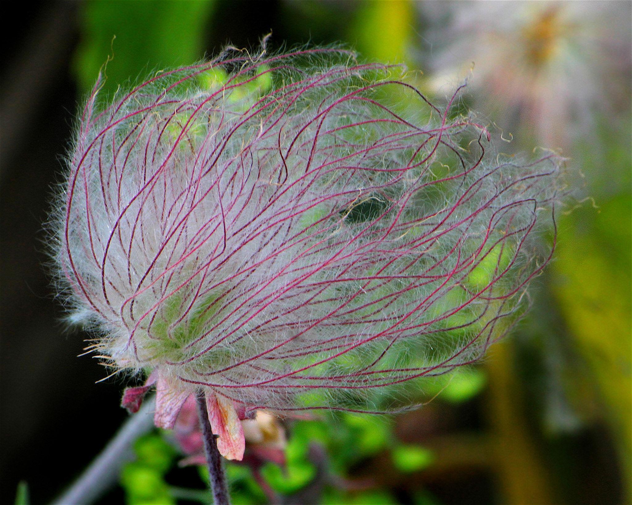 草原烟——荒原中的粉色棉花糖