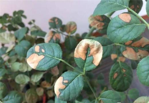 月季叶子发黄的六大症状及处理方法
