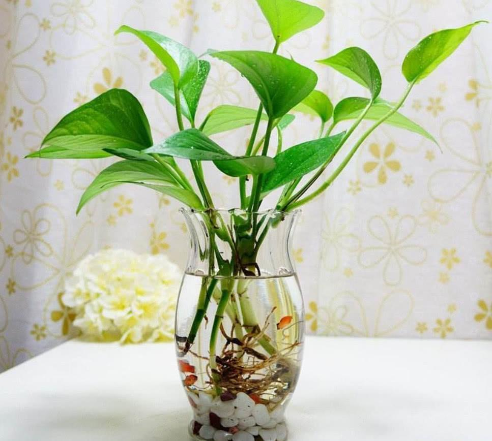 水培花卉有哪些?适合水养的花卉推荐