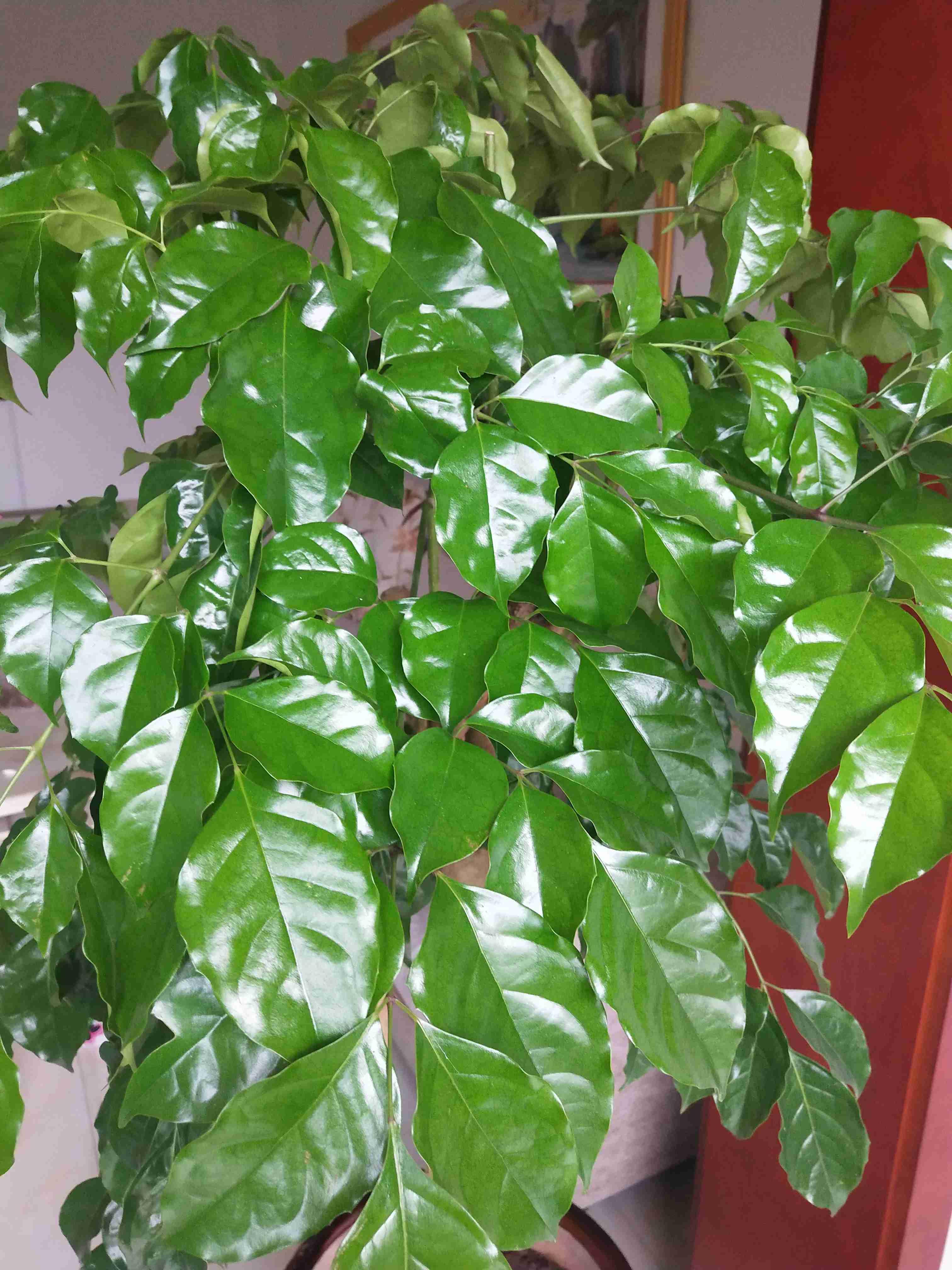 幸福树夏季落叶怎么回事?有什么补救处理方法呢?
