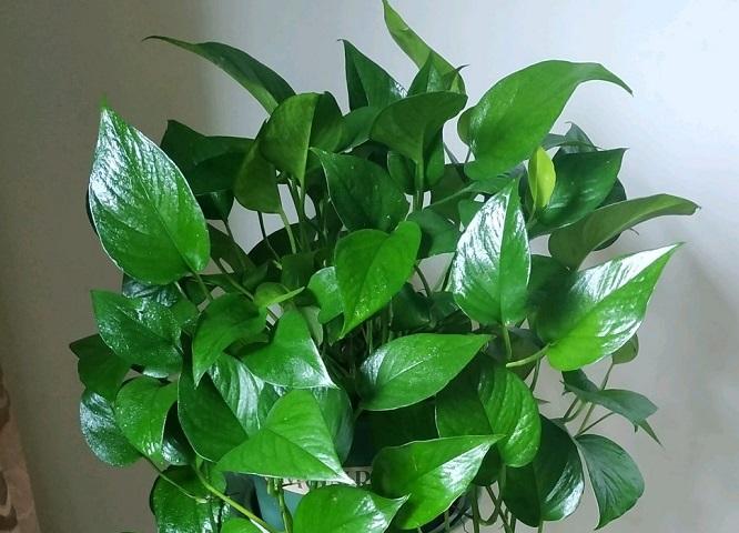 能够吸收甲醛的植物有哪些?