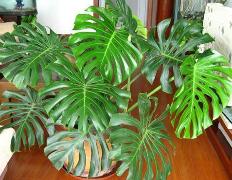 室内能养的5种除甲醛植物推荐
