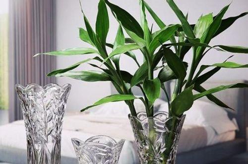水培富贵竹怎么养才能更旺盛?