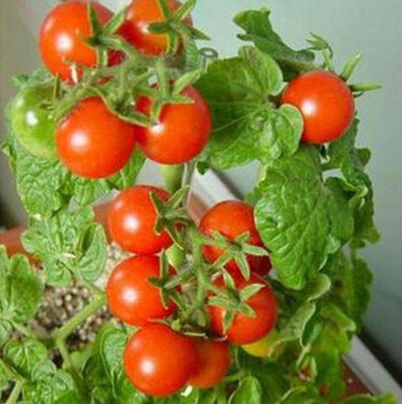 阳台番茄盆栽种植方法,需要注意什么呢?