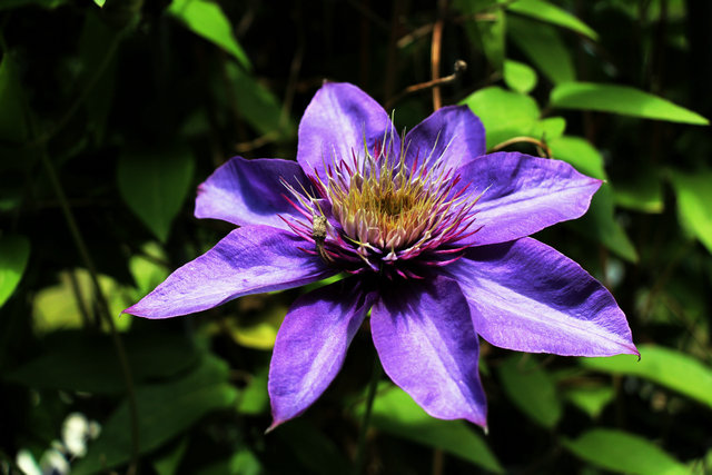 推荐几个铁线莲品种,花园必备开花机器!