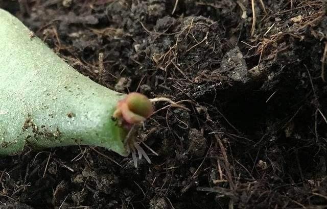 虎皮兰、玉树、金钱树如何叶插?