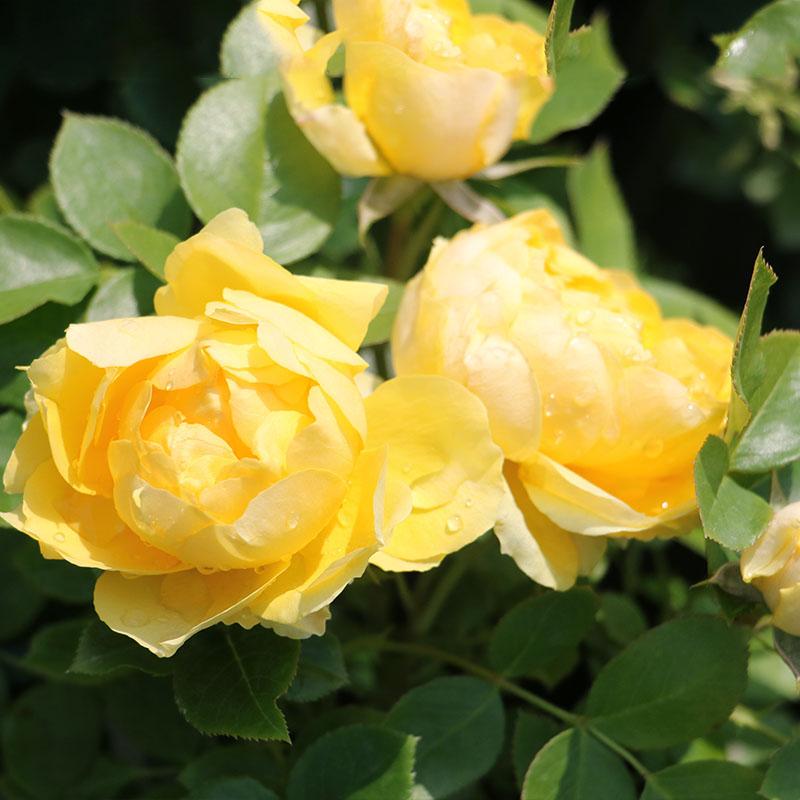 适合阳台种植的微型月季品种推荐
