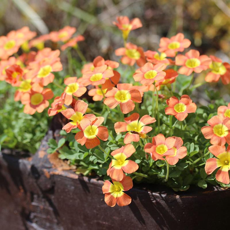 推荐几个秋天种植的球根植物