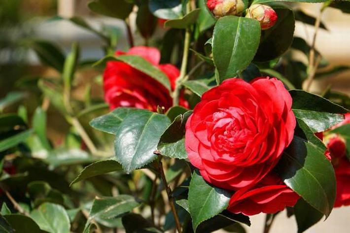 茶花什么时候开花?花期多长?一年开几次花?