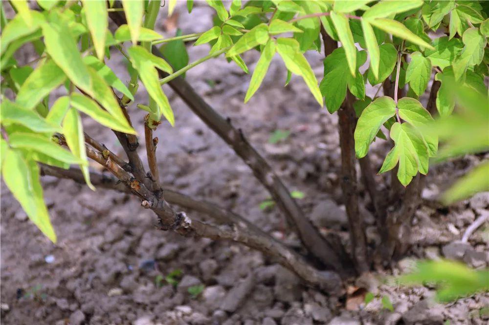 牡丹和芍药怎么区分?牡丹和芍药的区别