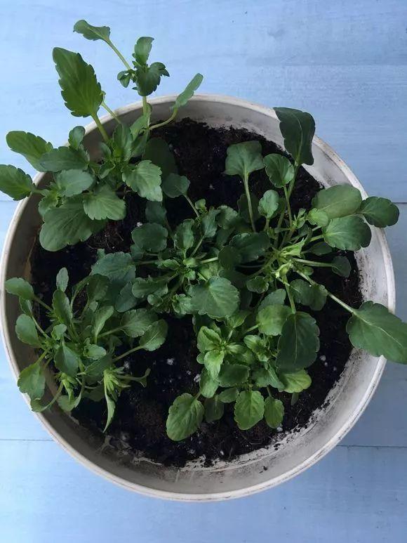 三色堇和角堇的区别