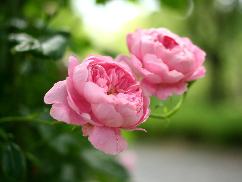 蔷薇、玫瑰、月季的区别