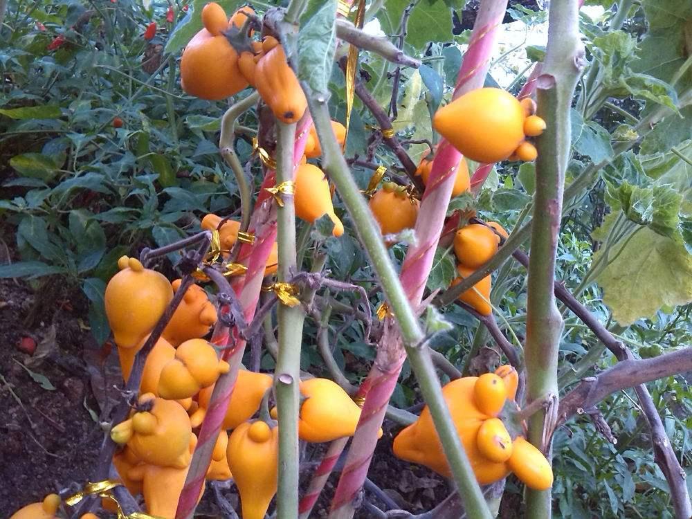 乳茄的养殖方法和注意事项