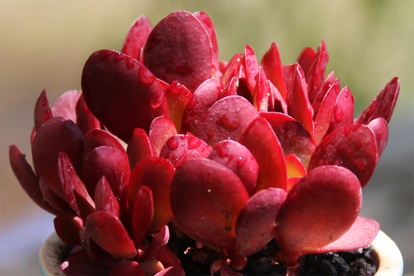 红色系多肉植物品种有哪些?
