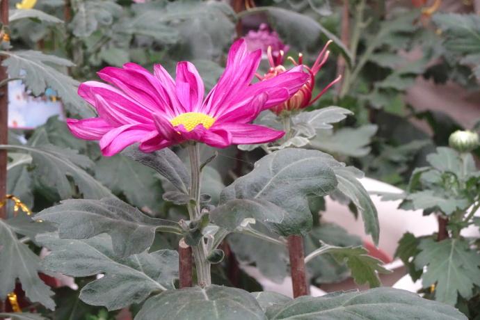 菊花品种大全(36种)
