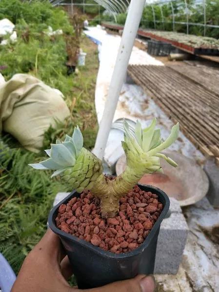 多肉植物的养护技巧(选盆、配土、上盆、摆放)