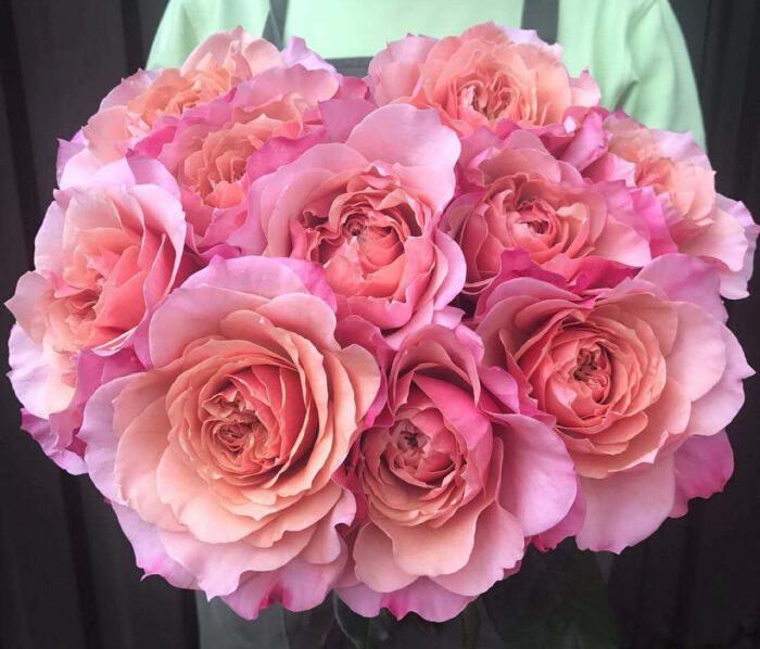 月季花——梅拉之桃(Mayra's Peach)