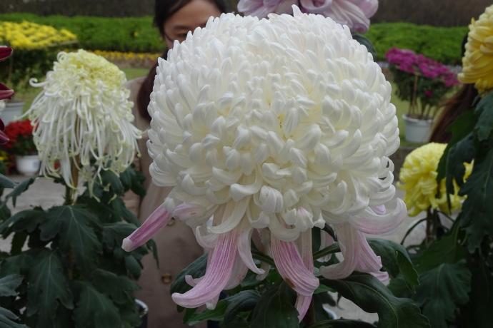 菊花图片——国华英雄