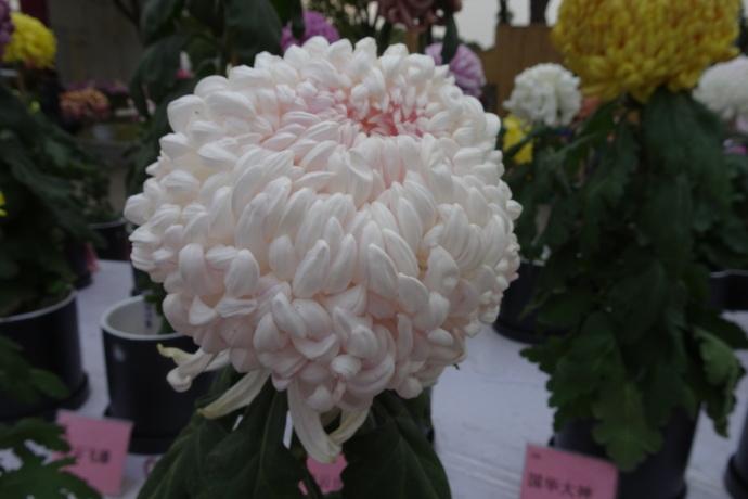 菊花图片——国华由季