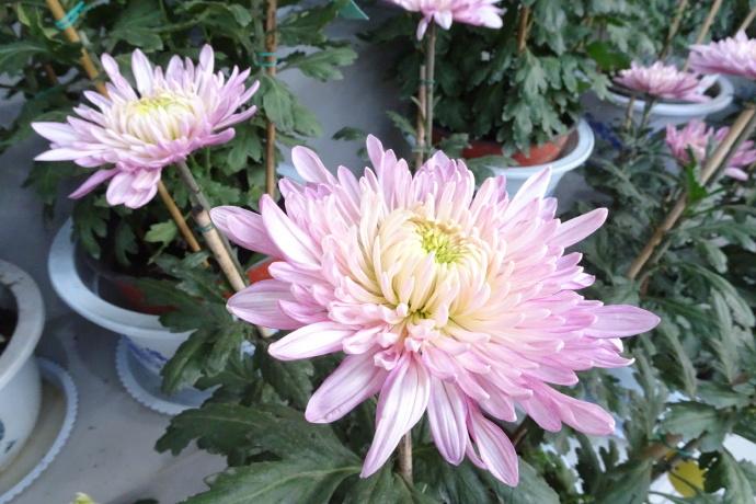 菊花图片——盘龙圣莲