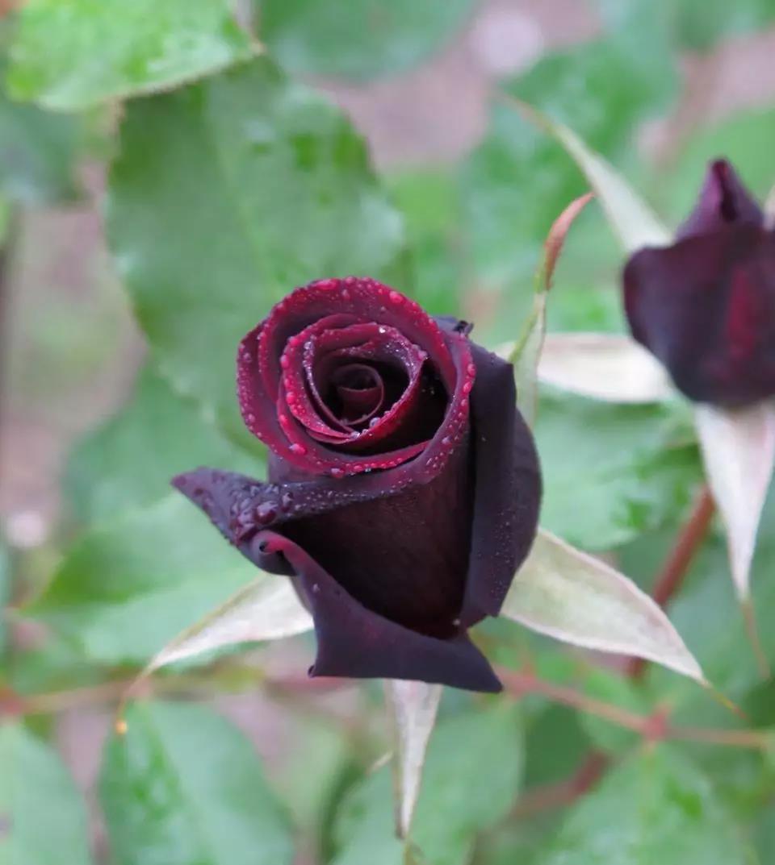 黑色系月季品种推荐