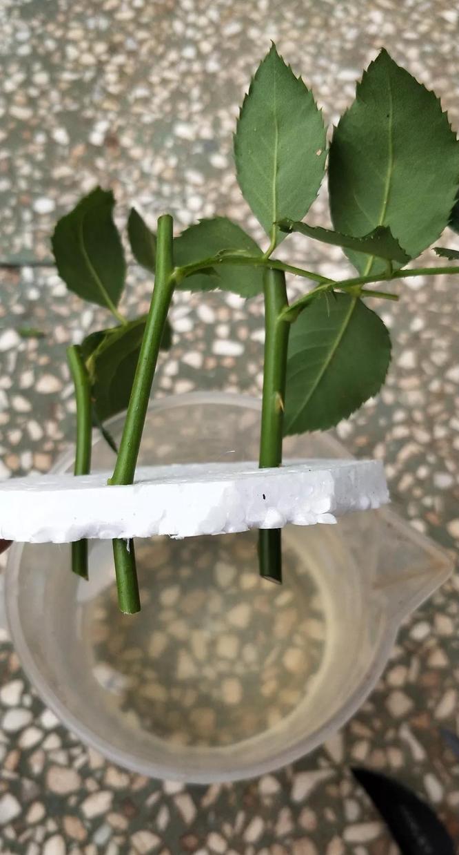 月季水插繁殖方法