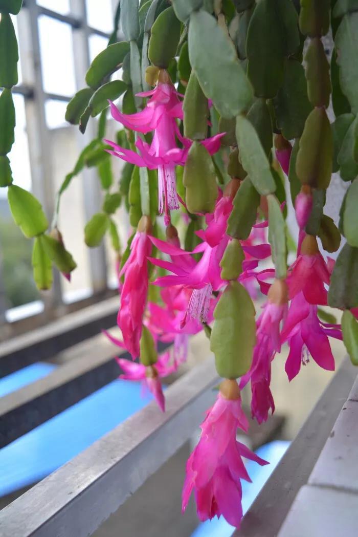 蟹爪兰冬天怎么养才能多开花?