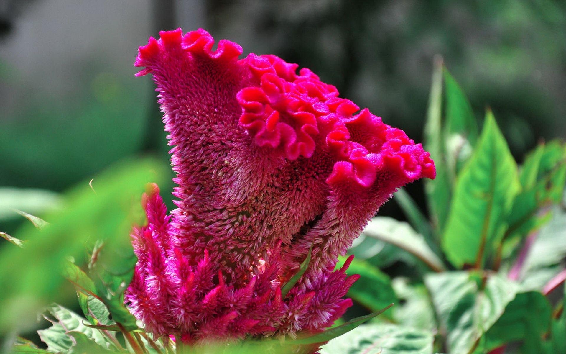 鸡冠花图片