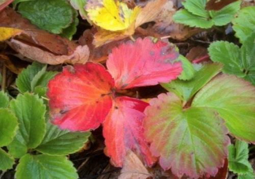 草莓叶子变红,是生病了吗?