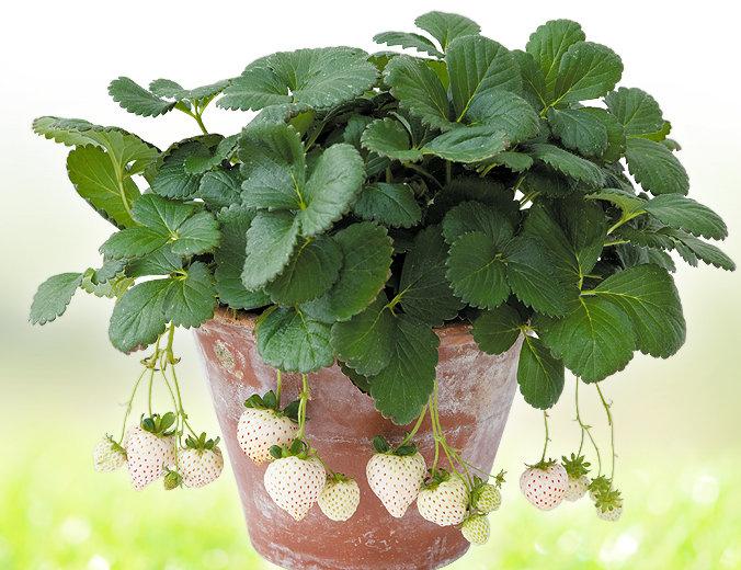盆栽草莓用什么盆好?