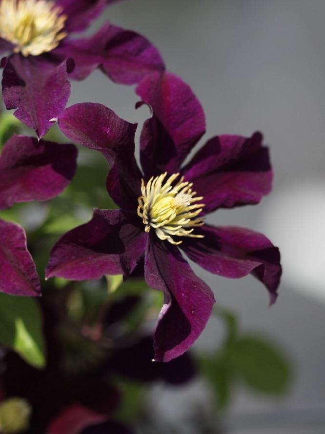 耐寒的铁线莲品种有哪些?