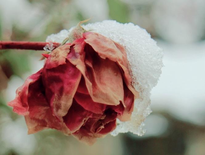 北方月季冬季越冬注意事项