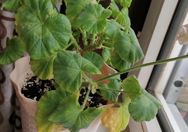 天竺葵出现黄叶的原因