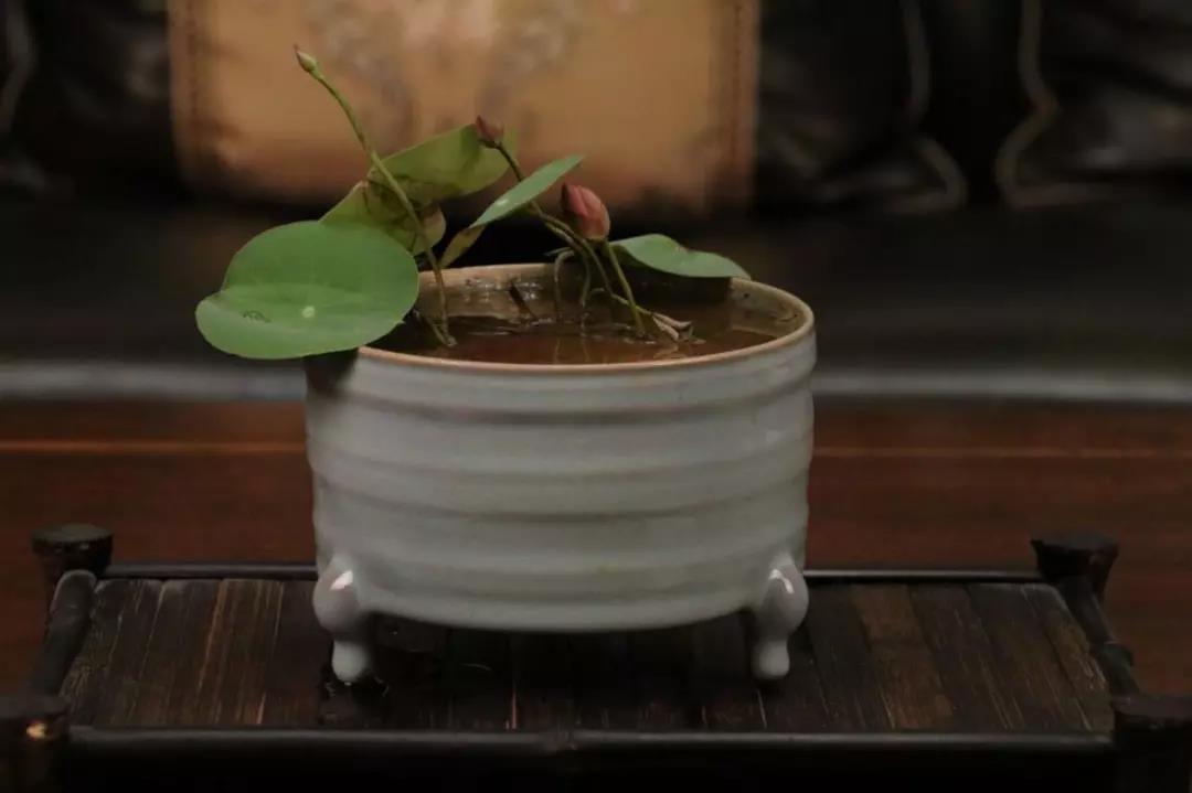 碗莲种藕种植教程