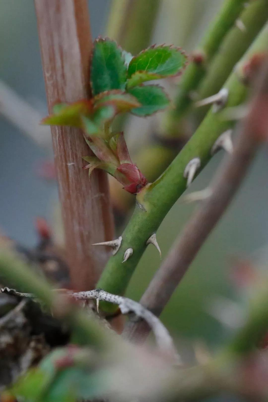 月季春天如何抹芽?