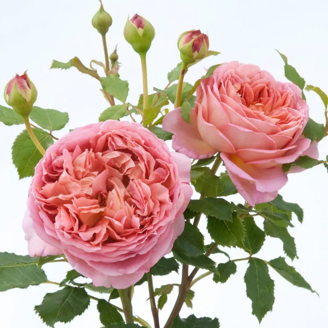 适合庭院和阳台种植的浓香月季品种推荐