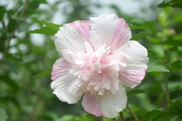 木槿花的花语是什么?