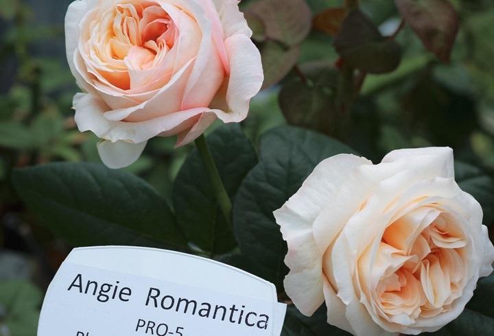 月季花——浪漫安琪(Angie Romantica)
