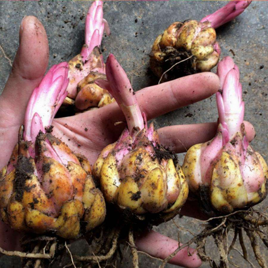 百合花开后如何养球、留种?