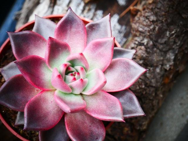 多肉植物浇水可以浇到叶片上吗?