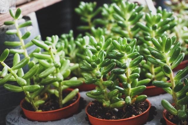 多肉植物为什么会长蚧壳虫?