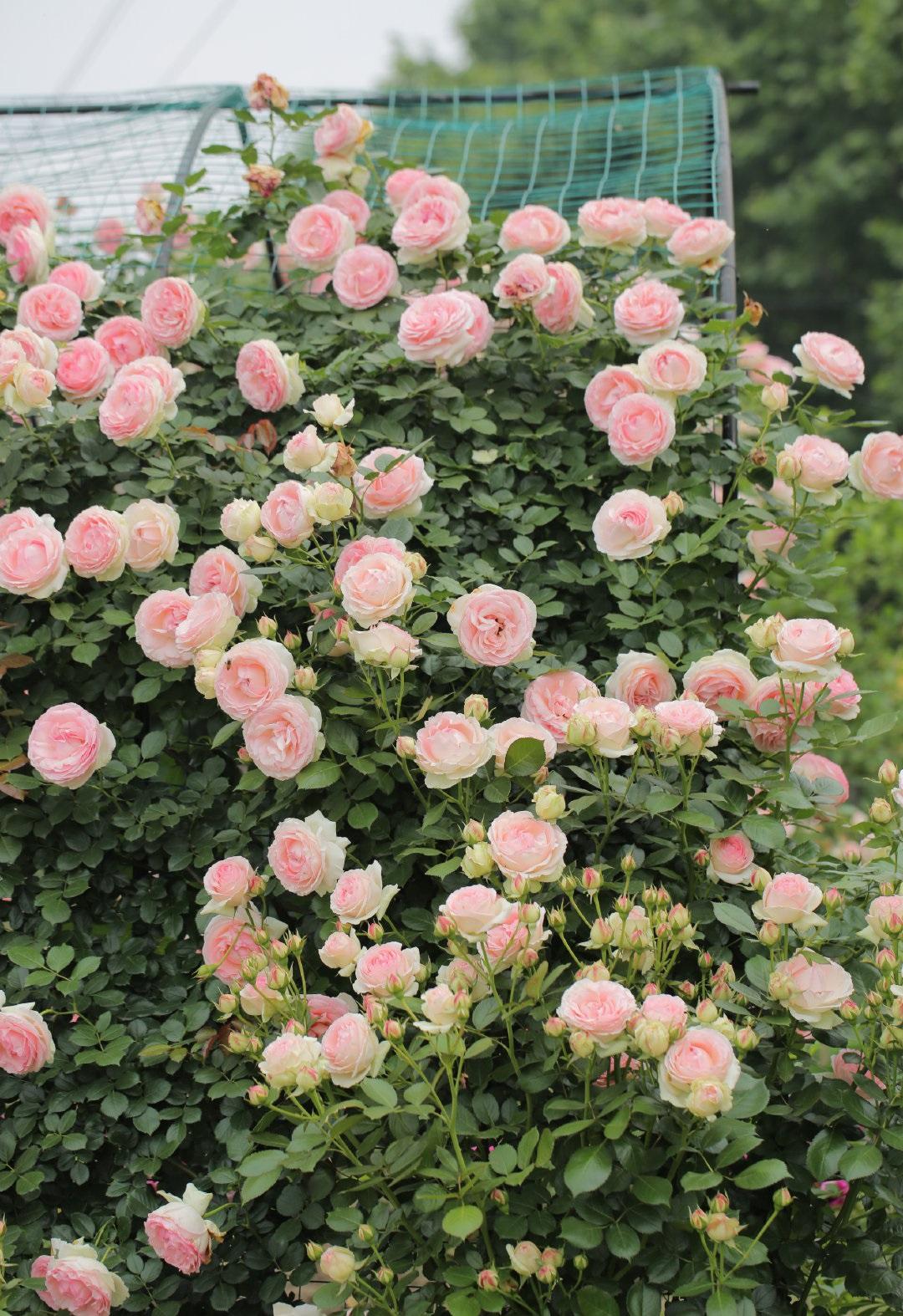 藤本月季图片——粉色龙沙宝石