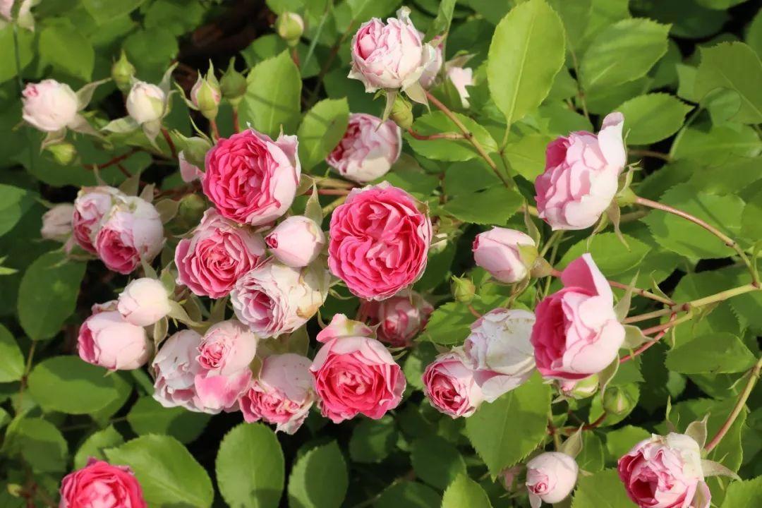 藤本月季花苞枯萎,长期不开花?