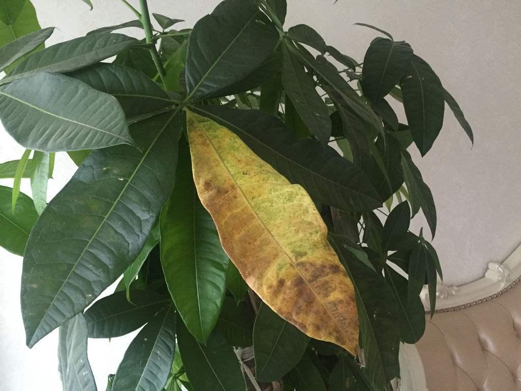 发财树叶子发黄怎么办?